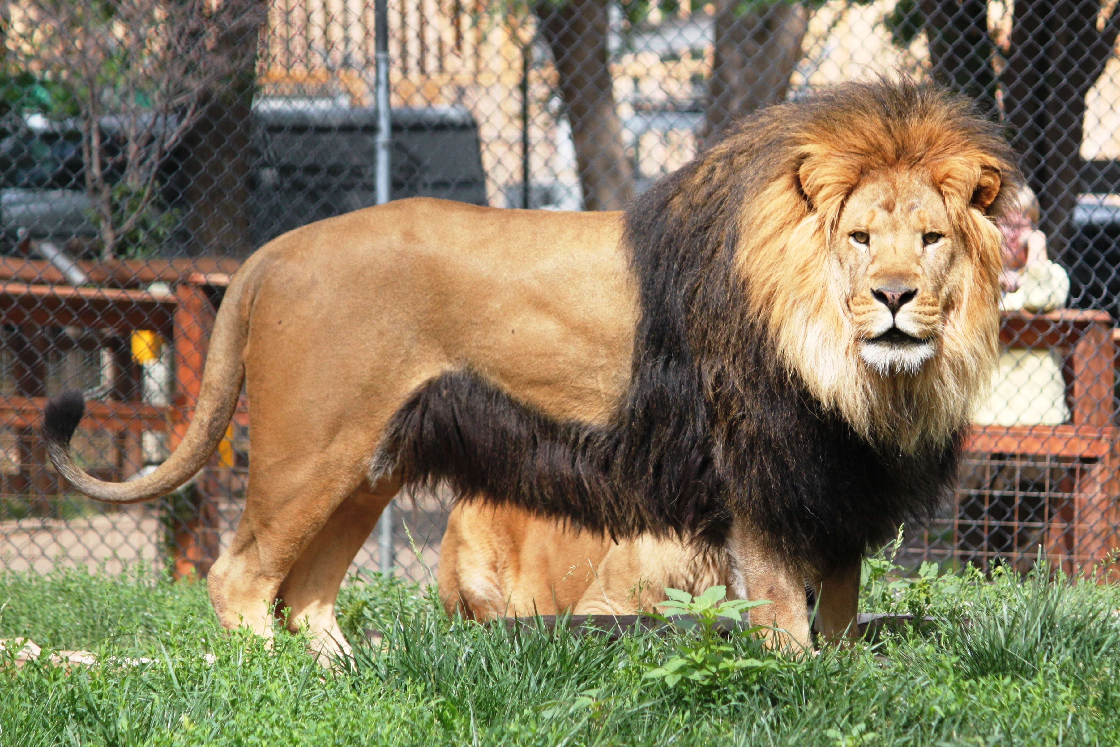 Side view of male African lion in a zoo exhibit