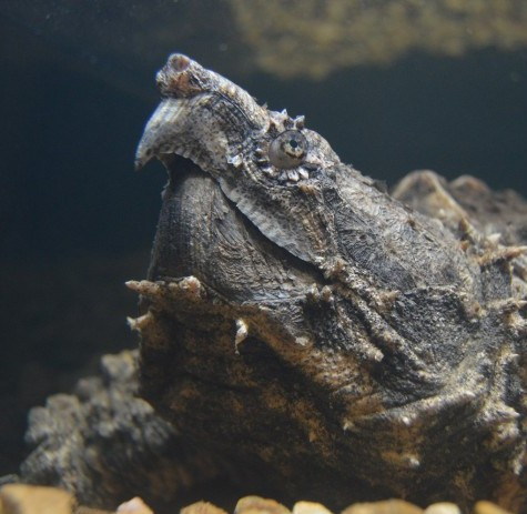 Alligator snapping turtle under water