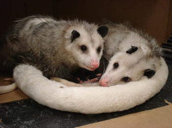 Opossums enjoying their new bed