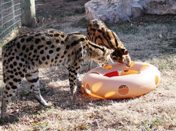 Servals enjoying their toy